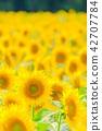 向日葵 花朵 花卉 42707784
