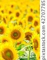 向日葵 花朵 花卉 42707785