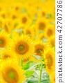 sunflower, sunflowers, bloom 42707786