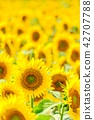 向日葵 花朵 花卉 42707788