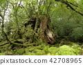 야쿠시마, 오래된 나무, 고목 42708965