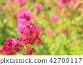 한 살 백일홍의 꽃 42709117