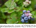 藍莓 水果 空白部分 42709259