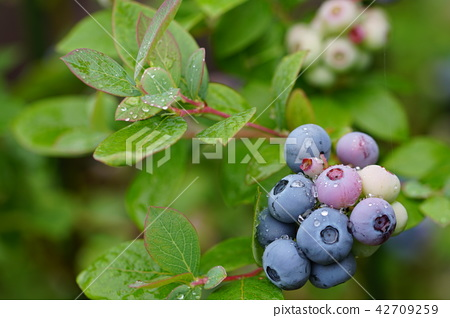 當我很快就吃,藍莓 42709259