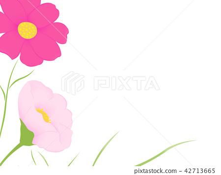 Cosmos flower pink purple frame 42713665