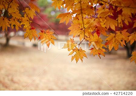현충사의 가을과 단풍나무 42714220