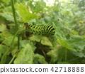 鳳蝶 幼蟲 黃色 42718888