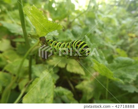 산호랑나비, 애벌레, 유충 42718888