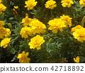 萬壽菊 花朵 花 42718892