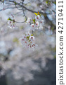 樱花 樱桃树 花朵 42719411