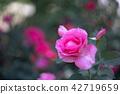 玫瑰玫瑰粉红玫瑰 42719659