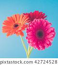 Beautiful gerbera flowers. Close up 42724528