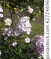 多年生天藍繡球 花朵 花 42724696