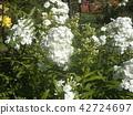 多年生天藍繡球 花朵 花 42724697