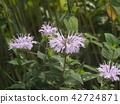 香蜂草 花朵 花 42724871