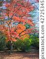 단풍나무, 단풍, 가을 42725345