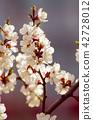 Apricot tree flower 42728012