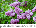Spring lilac flowers 42728014