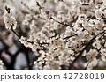 Apricot tree flower 42728019