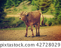 Single funny calf 42728029