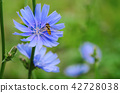 Chicory flower in nature 42728038