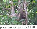 미 터진 나무 늘보 (코스타리카) 42733488