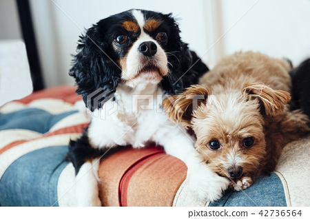 放松在英国国旗样式沙发的两条狗 42736564