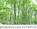 beech, forest, early 42744535