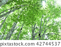 beech, forest, beeches 42744537