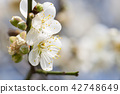 white plum blossoms closeup 42748649