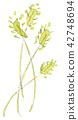 foxtail, setaria, green foxtail 42748694