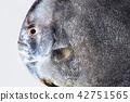 black fish 42751565