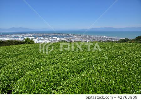 新鮮的綠茶植物Nippaira 42763809