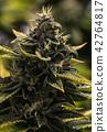 A Cannabis Macro Bud Shot 42764817