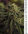 A Cannabis Macro Bud Shot 42764844