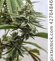 A Live Cannabis Plant In Flowering 42764846