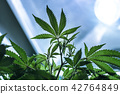 A Live Cannabis Plant In Vegetation 42764849