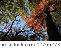 ต้นเมเปิล,ต้นออทัม,ฤดูใบไม้ร่วง 42766273