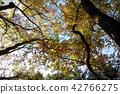 ต้นเมเปิล,ต้นออทัม,ฤดูใบไม้ร่วง 42766275
