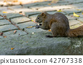 赤腹松鼠 台湾台北二二八公园のタイワンリ Red-Bellied Squirrel 42767338