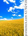 小麥 天空 雲彩 42782416