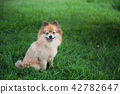 Pomeranian dog smiling at meadow 42782647