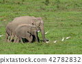Asian elephants is eating solid in Thailand forest 42782832