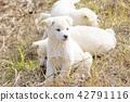 小狗 42791116