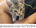munchkin, kitty, pussy 42791956