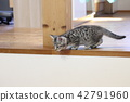 munchkin, kitty, pussy 42791960
