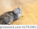 munchkin, kitty, pussy 42791961