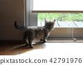 munchkin, kitty, pussy 42791976
