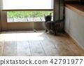 munchkin, kitty, pussy 42791977