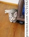 munchkin, kitty, pussy 42791982